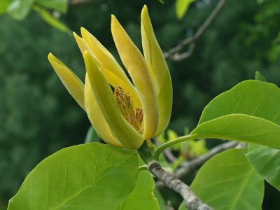 HOA GIEO TỨ TUYỆT - Page 4 Magnolia_acuminata%232974d%232_400