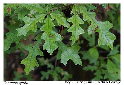 Quercus lyrata (Overcup oak) | NPIN