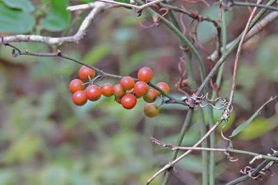 Smilax walteri - Coral greenbrier -- Discover Life