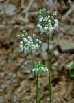 Allium oxyphilum Wherry