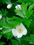 Anemone canadensis L.