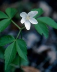 Anemone lancifolia Pursh