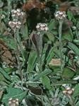 Antennaria neglecta Greene