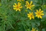 Bidens aristosa (Michx.) Britt.