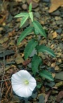 Calystegia spithamaea (L.) Pursh ssp. purshiana (Wherry ) Brummitt