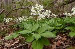 Cardamine diphylla (Michaux) A. Wood