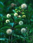 Cephalanthus occidentalis L.