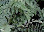 Cheilanthes tomentosa Link