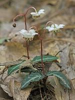 Chimaphila maculata (L.) Pursh