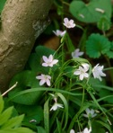Claytonia virginica L.