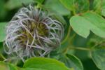 Clematis occidentalis (Hornemann) DC. var. occidentalis