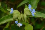 Commelina virginica L.