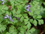 Corydalis incisa (Thunb.) Pers.