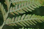 Dryopteris celsa (Wm. Palmer) Knowlt., Palmer & Pollard ex Small