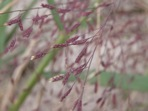 Eragrostis spectabilis (Pursh) Steud.