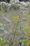 Eupatorium torreyanum Short and Peter