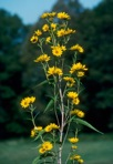 Helianthus grosseserratus Martens