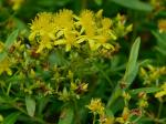 Hypericum densiflorum Pursh var. densiflorum