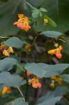 Impatiens capensis Meerburg