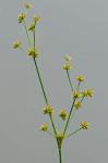 Juncus acuminatus Michx.