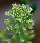 Lepidium campestre (Linnaeus) R. Brown