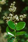 Ligustrum japonicum Thunb.