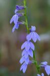 Lobelia georgiana McVaugh