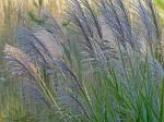 Miscanthus sinensis Anderss.