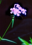 Phlox buckleyi Wherry