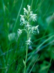 Platanthera lacera (Michx.) G.Don
