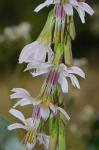 Prenanthes autumnalis Walt.