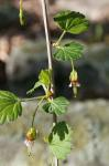 Ribes rotundifolium Michx.