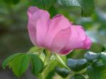 Rosa rugosa Thunb.