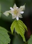 Rubus occidentalis L.