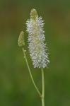 Sanguisorba canadensis L.