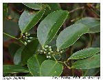 Smilax laurifolia L.