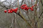 Smilax walteri Pursh