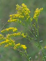 Solidago pinetorum Small