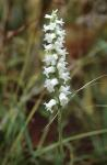 Spiranthes arcisepala M.C. Pace
