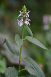 Stachys tenuifolia Willd.