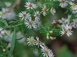 Symphyotrichum lateriflorum (L.) A.& D. Love