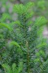 Taxus canadensis Marshall