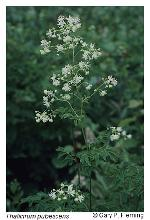 Thalictrum pubescens Pursh