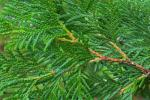 Thuja occidentalis L.