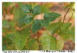 Toxicodendron pubescens P.Miller