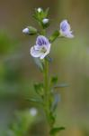 Veronica serpyllifolia L. var. serpyllifolia