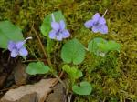 Viola rostrata Pursh
