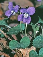 Viola sororia Willd.