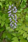 Wisteria sinensis (Sims) Sweet